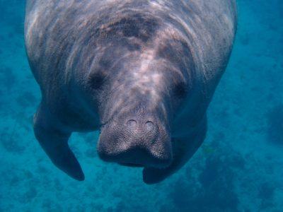 Everglades Endangered Species Florida Manatee