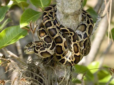 Everglades Invasive Species Florida Burmese python